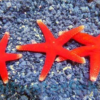 Red Star Fish (Fromia sp.)