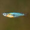 Sulawesi Rice Fish