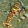 Tiger Shrimp (Alpheus  sp.)