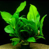 Anubias heterophylla-motherplant