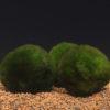 Cladophora aegagropila 'Moss Balls'