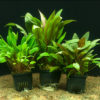 Cryptocoryne motherplant:mixed in 8cm po